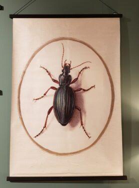Schoolplaat-beetle